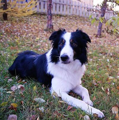 3 Historias increíbles protagonizadas por Border collies