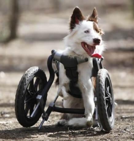 Roosevelt, el border collie en silla de ruedas que esquía como un campeón