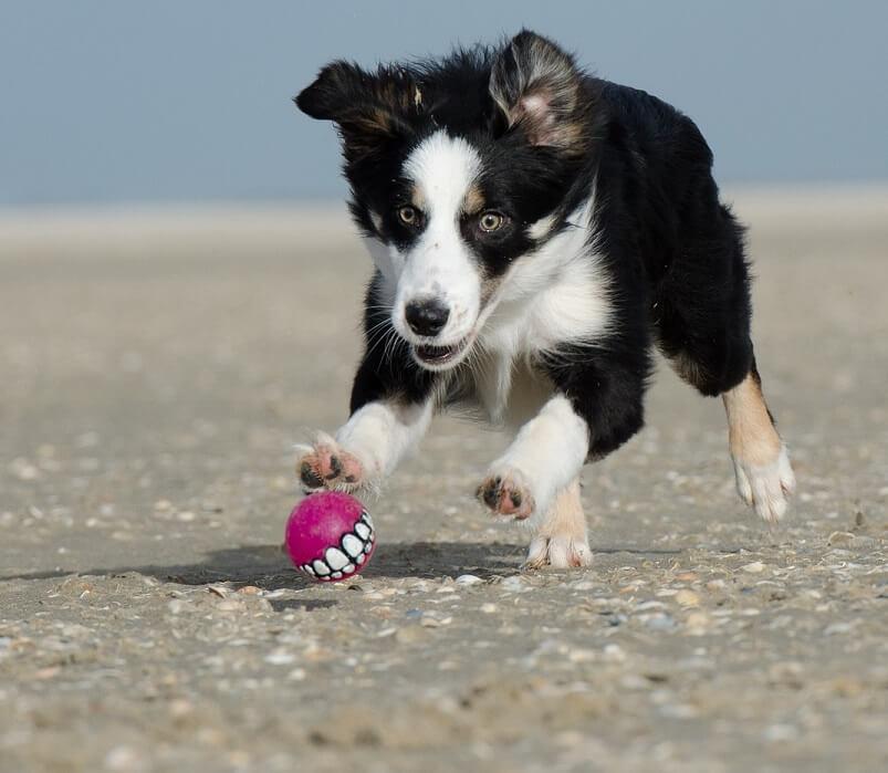 ¿Cómo entrenar un cachorro de Border Collie?