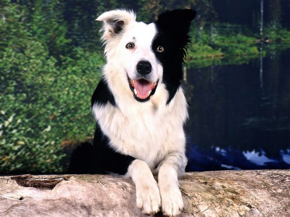 Border collie baño