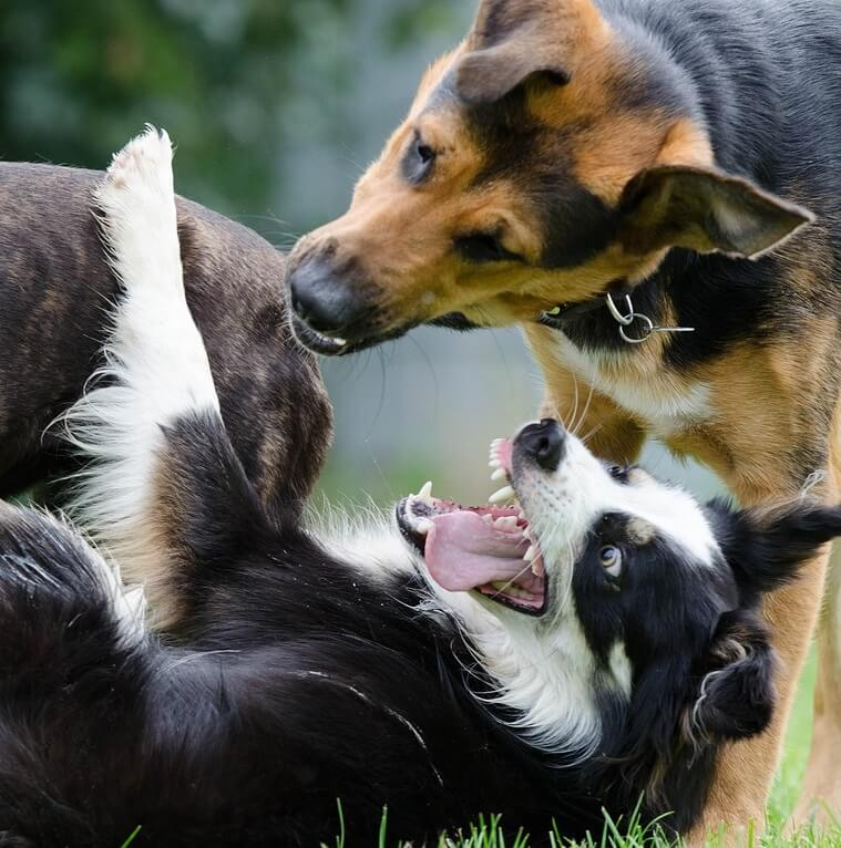 Border Collie problemas de comportamiento dominante