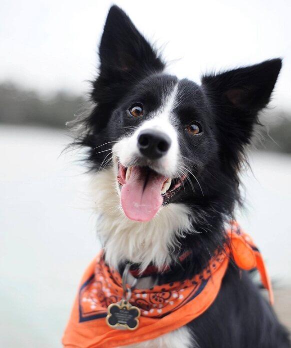 ¿Son los Border Collies los mejores perros?